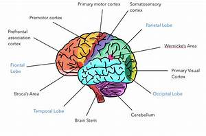 Labeled Diagram Of The Brain And Functions