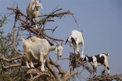 cuisine maroc les chèvres dans les arbres maroc one360 eu