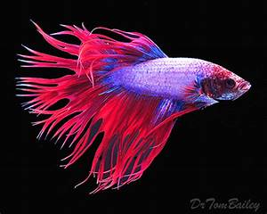 Crowntail Betta for Sale AquariumFish