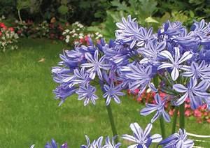 Graines D Agapanthe : agapanthe bleue nova flore jardin ~ Melissatoandfro.com Idées de Décoration