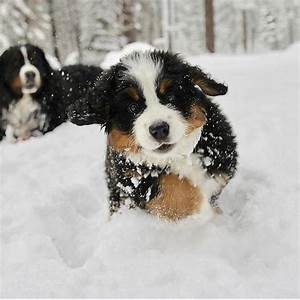 Bernese Mountain Dog Puppy Snow | www.pixshark.com ...