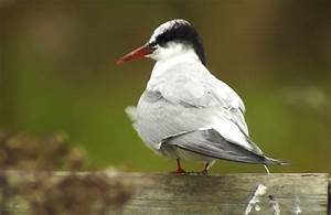 Arctic Tern set record completing the longest ever ...