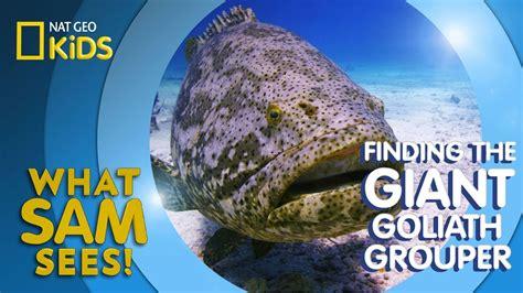 goliath grouper sees giant sam finding