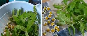 Verveine Plante Tisane : tisane bio maison faire s cher les feuilles de verveine et fleurs de camomille jasmine and ~ Mglfilm.com Idées de Décoration