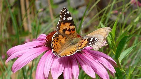 une vie de papillon des papillons dans mon jardin