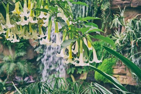 tromboni fiori tromboni d angelo tra i fiori pi 249 velenosi pollicegreen