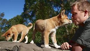 australian dingo pup image search results