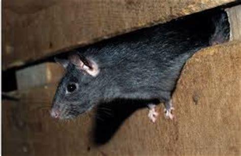 conseils pour se d 233 barrasser des rats et souris
