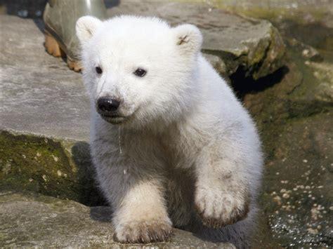 polar bear desktop wallpapers  wallpapers