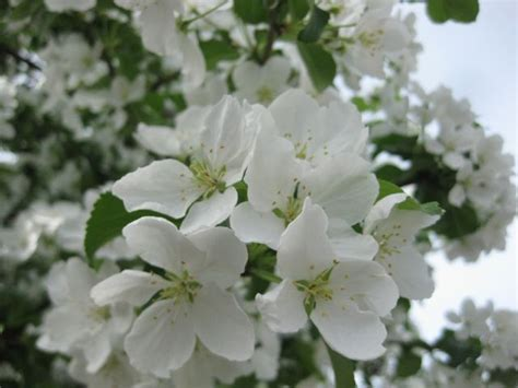 tree white flowers what do i know three anchorage trees with white flowers