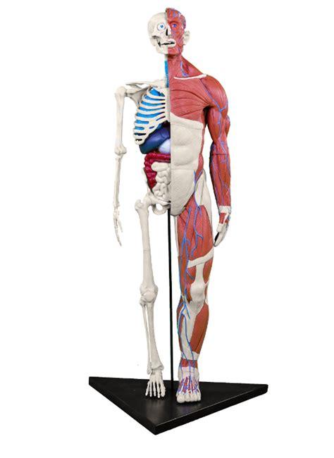 il corpo umano gli organi interni viaggio nel corpo umano dr steve hunters