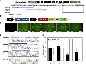 Crispr Grna Design Mit In Vivo Knockout Of The Vegfa Gene By Lentiviral Delivery