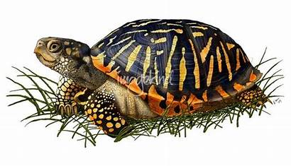 Turtle Box Clipart Land Ornate Drawing Painting