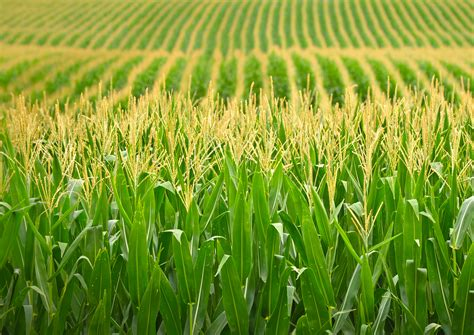 Biologists Identify Six Genes in Maize Responsible for ...