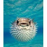 Pufferfish - Photos - Sea creatures scarier than sharks - NY Daily ...
