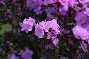 Rhododendron Braune Blätter : rhododendron dauricum dahurischer rhododendron ~ Lizthompson.info Haus und Dekorationen