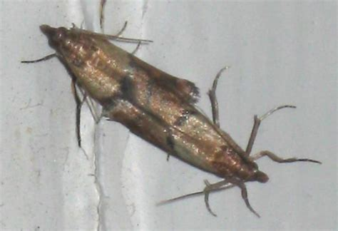 mating indian meal moths whats  bug