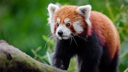 Panda Face Kitten Title