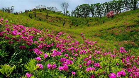 flowering grasses with pink flowers summer mountain meadow with pink flowers and green grass trees wallpapers13 com