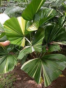 Licuala grandis - Palmpedia - Palm Grower's Guide