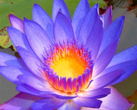 """30 Health Benefits Of Lotus Leaves And Flowers"""