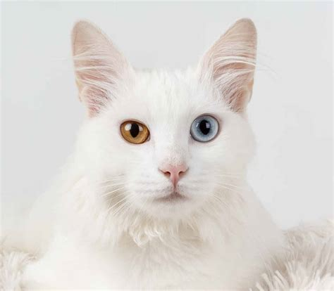 cat eye colors different cats eyes colored eyed shades irises referred odd often they