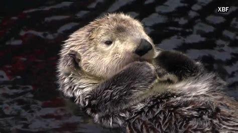 sea otter enhydra lutris hd youtube