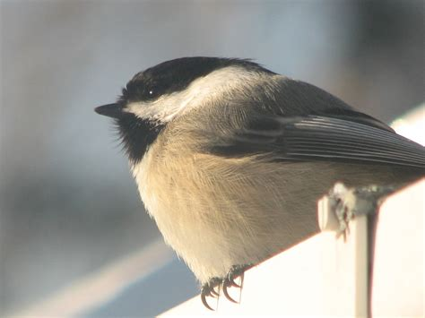 birds  south burlington vermont backyard bird  south burlington vermont