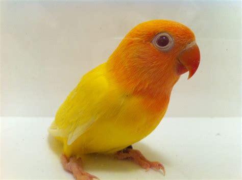 Lutino Fischer Love Bird
