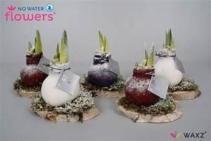 Amaryllis In Wachs : amaryllis no water flowers wax on wood snow florastore ~ A.2002-acura-tl-radio.info Haus und Dekorationen