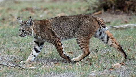 Lynx Roux — Wikipédia
