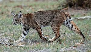 Picture 5 of 11 - Bobcat (Lynx Rufus) Pictures & Images ...