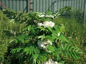 Säulen Pflanzen Winterhart : s ulen vogelbeere eberesche 39 fastigiata 39 sorbus aucuparia 39 fastigiata 39 baumschule horstmann ~ Frokenaadalensverden.com Haus und Dekorationen