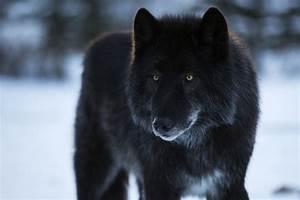 Black Wolf Dog Hybrid | www.pixshark.com - Images ...