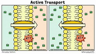 Transport Active Cell Membrane Biology Science Diffusion