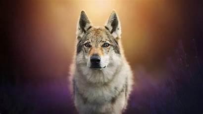 Dog Wallpapers Wolf Wolfdog 1080p Laptop Animals