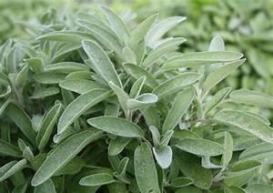 La Sauge Plante : les 10 bienfaits de la sauge sant nutrition ~ Melissatoandfro.com Idées de Décoration