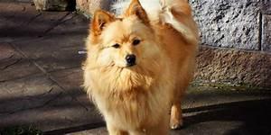 Japanese Spitz Brown | www.pixshark.com - Images Galleries ...