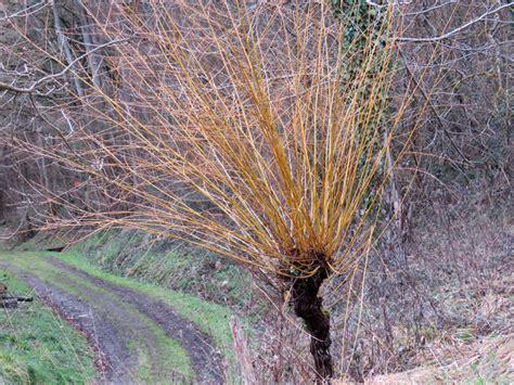 Le saule, l'arbre qui apaise les fièvres des hommes