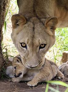 Let Us Look Upon These Lion Cubs And Their Mom | Mom, Us ...