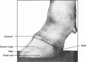 A Detailed Look At The Cattle Hoof