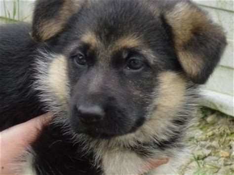 le chiot berger allemand the world 216 f dogs