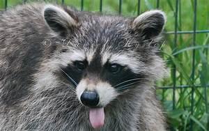 Rabid Raccoon | Car Interior Design