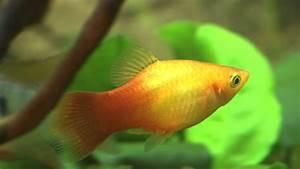 Aquarium Fische Süßwasser Liste : die zehn beliebtesten aquariumfische ~ Watch28wear.com Haus und Dekorationen