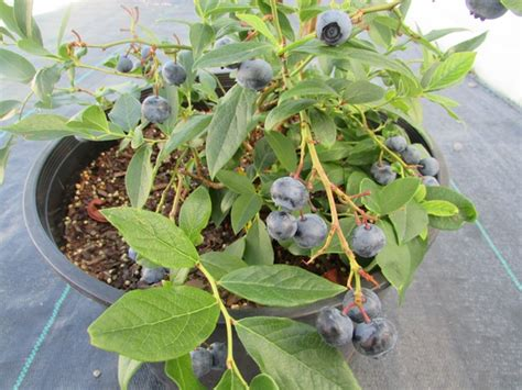 do it yourself blueberries coming to a garden centre near you ag innovation ontario