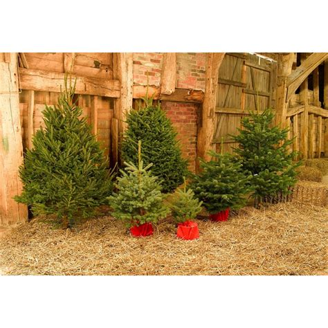 3ft real tree at lowes living nordman fir real tree 2 3ft at homebase co uk