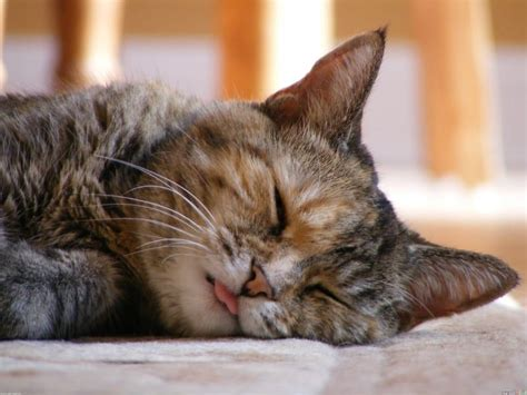 cat cute sleeping cats sleep background animals long kittens believe adorable these fluffy lazy hd won go creatures