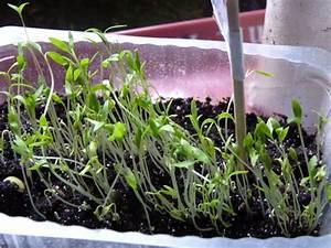 Semis De Persil : persil semis page 3 ~ Dallasstarsshop.com Idées de Décoration