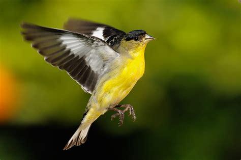 goldfinch wild life