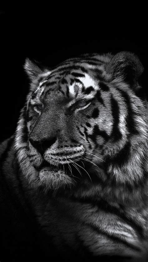 white tiger iphone wallpaper wallpapersafari